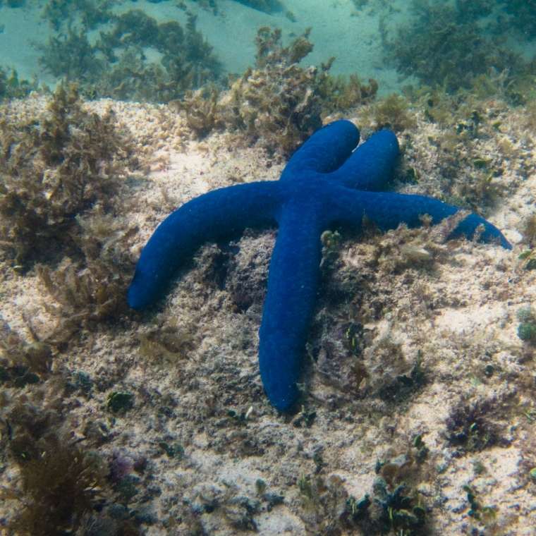 Linckia laevigata blue sea star