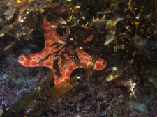 Tosia australis biscuit sea star